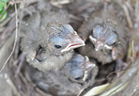 Photo of baby cardinals. Link to Life Stage Gift Planner Under Age 60 Situations.