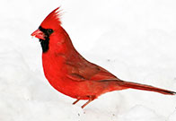 Photo of cardinal adult. Photo by Phil Haber. Link to Life Stage Gift Planner Over Age 70 Situations.